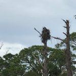 Osprey Nest in Gardens